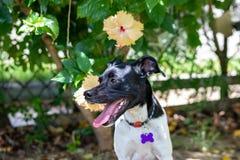 Schönes Frühlingsporträt entzückenden schwarzen Brasilianer-Terrier-Hundes im blühenden Park, rosa Blume des Hibiscus auf backgro lizenzfreies stockbild