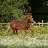 Schönes freies Kastanienpferd, das am Feld mit Blumen trottet Stockfotografie