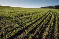 Schönes frisch bebautes Feld der grünen Ernte Lizenzfreie Stockbilder