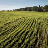Schönes frisch bebautes Feld der grünen Ernte Stockfotos