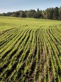 Schönes frisch bebautes Feld der grünen Ernte Stockbild