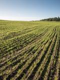 Schönes frisch bebautes Feld der grünen Ernte Stockfoto