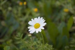 Schönes Gänseblümchen (Bellis perennis) im Garten lizenzfreies stockbild
