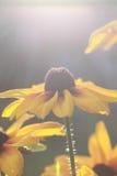 Schönes Gänseblümchen in der untergehenden Sonne! Stockfotografie