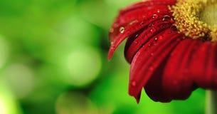 Schönes Gänseblümchen mit Regentropfen dof Stockbilder
