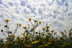 Schönes Gelb blüht Chrysanthemen an einem bewölkten Tag stockbild