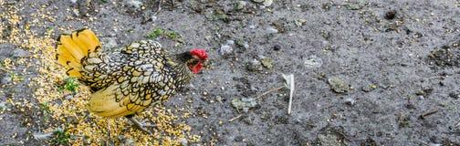 Schönes Gelb mit Federn versehene Hühnerfahne Lizenzfreies Stockfoto