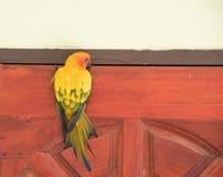 Schönes gelbes Bild Papagei Sun Conure auf einer Holztür Stockbild
