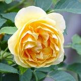 Schönes gelbes Englisch Rose im Garten, voll dröhnend stockfotografie
