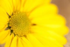 Schönes gelbes Gänseblümchen lizenzfreie stockfotos