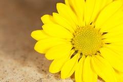 Schönes gelbes Gänseblümchen stockfoto
