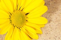 Schönes gelbes Gänseblümchen stockfotos