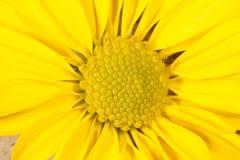 Schönes gelbes Gänseblümchen lizenzfreie stockfotografie
