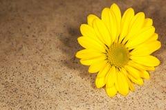 Schönes gelbes Gänseblümchen stockfotografie