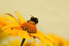 Schönes gelbes Gänseblümchen mit einer Biene Stockbilder