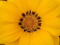 Schönes gelbes Gazania-Blumen-Detail stockfotos