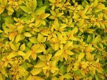 Schönes gelbes Laub im Frühjahr, Litauen Stockbild
