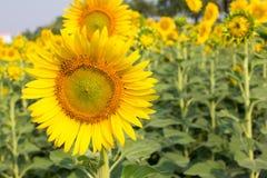 Schönes gelbes Sonnenblumenfeld Stockfotografie