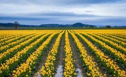 Schönes gelbes Tulpenfeld Lizenzfreies Stockbild