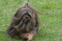 Schönes Gesicht eines Havanese-Hundes stockfotografie