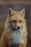 Schönes Gesicht eines roten Fox stockfoto