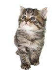 Schönes gestreiftes Kätzchen mit blauen Augen. Lizenzfreie Stockbilder