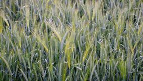 Schönes Getreidefeld im Hochsommer Lizenzfreie Stockfotografie
