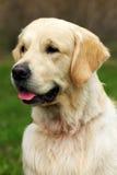 Schönes glückliches Hundgolden retriever im Sommer draußen Stockfotos