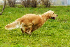 Schönes glückliches strandendes und spielendes Hundgolden retriever Lizenzfreies Stockbild
