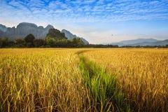 Schönes goldenes und grünes Reisfeld mit Berg in Vang Vieng, Laos. Lizenzfreies Stockbild