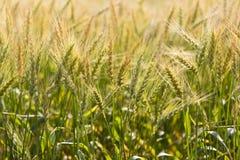 Schönes goldenes Weizenspitzen Weizenfeld Nepal lizenzfreie stockfotos