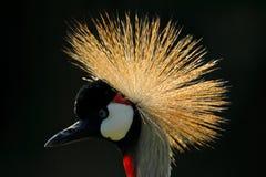 Schönes Goldvogelkamm Kunstbild des Vogels Grau kr?nte Kran, Balearica-regulorum, mit dunklem Hintergrund Sonnenuntergang in der  stockbilder