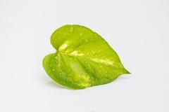 Schönes grünes Blatt mit Wassertropfen Lizenzfreie Stockbilder