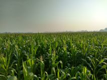 Schönes grünes Getreidefeld Lizenzfreie Stockbilder