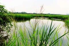 Schönes grünes Gras auf Wasser und grünem Blatt des Reispflanzehintergrundes Lizenzfreies Stockfoto