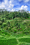 Paddy-Feld in Bali Stockfoto