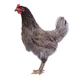 Schönes graues vollblütiges Huhn lokalisiert Stockfotos