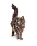 Schönes Grey Color Long Hair Cat Stockfotos