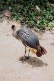Schönes Grey Crowned Crane Lizenzfreie Stockfotografie