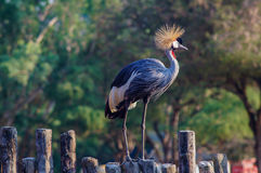 Schönes Grey Crowned Crane Stockbild
