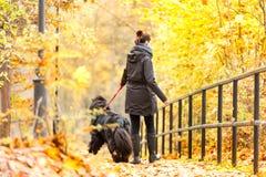 Schönes großes Neufundland mit dem Inhaber auf einem Herbstweg in a stockbilder