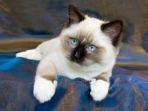 Schönes hübsches Ragdoll Kätzchen auf Blau Stockfoto