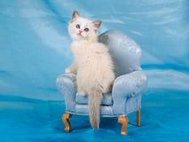 Schönes hübsches Ragdoll Kätzchen auf Stuhl Lizenzfreie Stockbilder