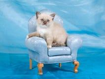 Schönes hübsches Ragdoll Kätzchen auf Stuhl Stockbilder
