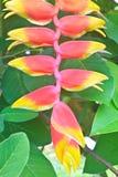 Schönes Heliconia-Blumenblühen Lizenzfreies Stockfoto