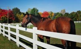 Schönes hohes Pferd in einem Weiß zäunte Ranch ein Lizenzfreies Stockbild