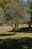 Schönes hundertjähriges Olive Tree Next To The-Ufer des Pajero-Reservoirs 14. November 2015 Natur, Reise, Landschaften E stockbild