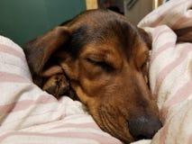 Schönes Hundeschlafen stockfoto