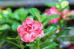 Schönes hybrides Rot Adenium Obesum (Wüstenrose) überlagerte Blume Stockbild