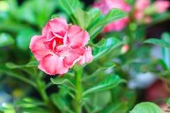 Schönes hybrides Rot Adenium Obesum (Wüstenrose) überlagerte Blume Stockfotos